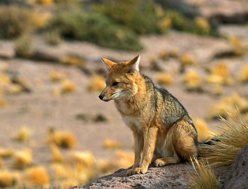 Bolivia Species Mammal Chile Atacama desert geyser mountain Andes wildlife