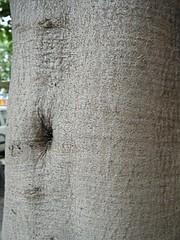 arschlochbaum