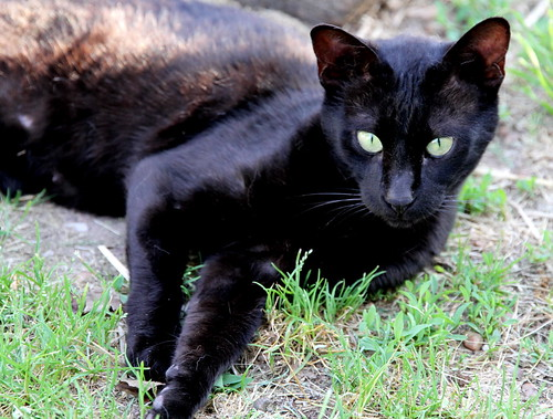 F4 Melanistic Savannah cat