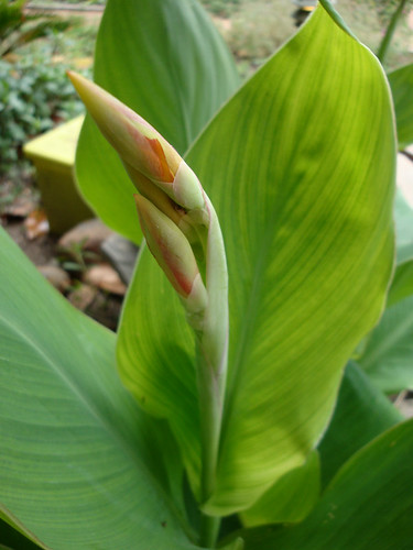 cannas_yelloworange_buds
