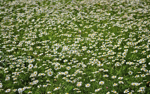 A Sea of Daisies