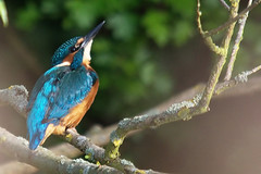 kingfisher01_neat