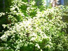 PeaceTree. (JakeCampbell2) Tags: trees tree leaves leav