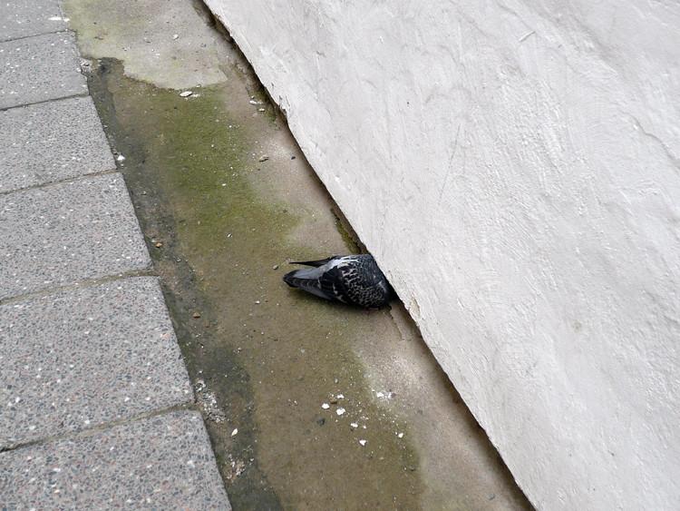 Hidden pigeon
