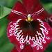 Miltonia Gerald Michael Lawless - Orchidaceae C20100518 024