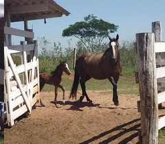 Chess and Chalana (Victria Guereschi) Tags: horse dress pasto grama campo cavalo filhote chacara porteira potrinho egua