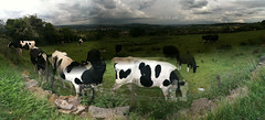 Strange Cows over Cottingley (steve_huison) Tags: uk autostitch bradford yorkshire leeds saltaire shipley iphone