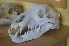 Grizzley Bear Skull