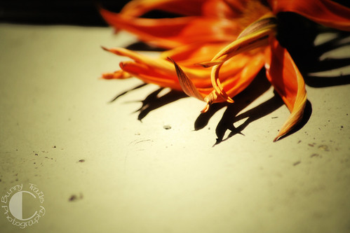 orange gazania_retro_love