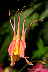 Going With The Flow (Gary Grossman) Tags: flower nature oregon spring natural blossom fir bloom columbine rhythm douglasfir naturalrhythm