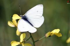 The white butterfly (Automartinez) Tags: white macro fleur jaune canon plante butterfly eos is papillon le vegetation paysage animaux papier blanc efs alban fond velour insectes flore the ailes faune 500d joachin doux volant decran duver 55250mm automartinez