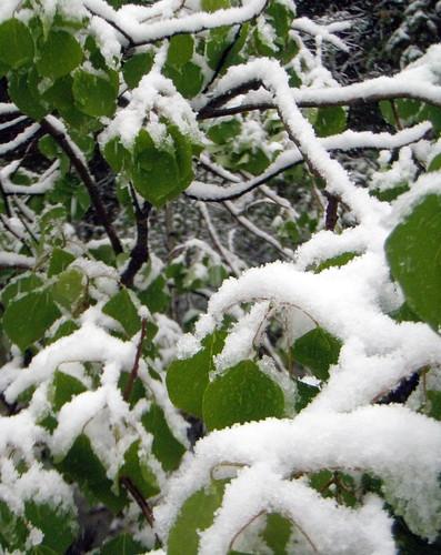 Leaves of snow