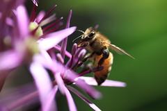 B (Gus Benson) Tags: flower closeup insect close bokeh bee bumblebee pollen 60mmefsmacro canoneos50d gusbenson matthewbenson