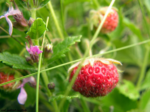 Wild strawberries / C?p?uni s?lbatice