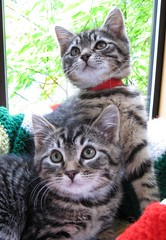 Felony Cute Feral Tabby Brother Kittens (Pixel Packing Mama) Tags: heartlandhumanesociety feralkittens pixelpackingmama tabbycatspool dorothydelinaporter montanathecat~fanclub spcacatspool ceruleanthecat~fanclub worldsfavoritepool thetabbycatgrouppool catpixpool bobbleheadprototypesset terrifictabbycatspool doublebeautypool favoritedpixfirsthalfof2010set pixuploadedfirsthalfof2010set pixtakeninfirsthalfof2010set picturestakenwithcanonpowershota2000isin2010set catskittensstartingjanuary12010set docmcfly favup061810 oversixmillionaggregateviews over430000photostreamviews