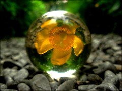 yellow flower through the crystal ball (april-mo) Tags: yellow ball garden yellowflower refraction glasswork crystalball crystalclear