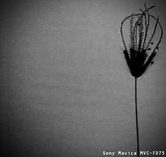 MVC-139F (Diogo Santos - FOTOREVEL STUDIO) Tags: brazil bw plant planta water gua brasil sony pb bahia fotografias aqutica sonymavicamvcfd75 diogosantos serrolandia galeriadaimagemcombr