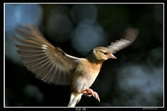 FEMALE CHAFFINCH IN FLIGHT (bobspicturebox) Tags: horses pool birds