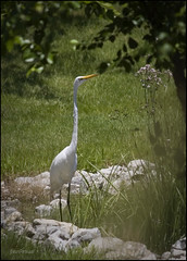 Great Egret (Silverbird_4) Tags: white bird pond backyard egret whiteegret greatwhiteegret