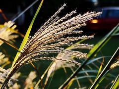 Grass (Light Echoes) Tags: fall nature grass sunrise pennsylvania 1001nights 2010 potofgold dmk thegalaxy golddragon thebestshot spiritofphotography flickraward lifetnc10 ringexcellence
