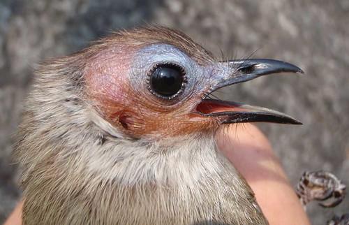 Kailgalvas bulbuls (Pycnonotus Hualon)