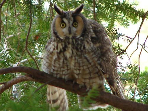 ruffled owl