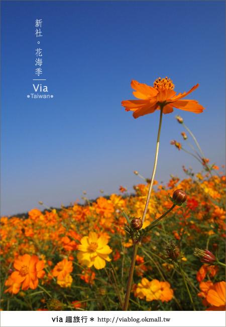 【2010新社花海】via帶大家欣賞全台最美的花海!16