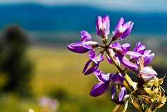 Mountain Flower (Andrew Pastoor Photography & Design) Tags: blue summer color macro beautiful purple bokeh photograph wyoming upclose flowersplants grandtetonpark andrewpastoor