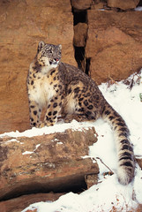 Snow leopard on cliffs (Exodus Travels - Reset your compass) Tags: trip travel india holiday travelling cat holidays wildlife leopard ladakh in adventuretravel fluffytail exodustravels