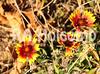 Burning Flower (r_hoke2007) Tags: redandyellowflower burningflower sunsetflower