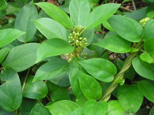 Gymnema: Ayurvedic Herb For Diabetes and Blood Sugar Control