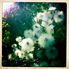 Le Poof (David X Glenn) Tags: autumn sun sunlight chicago green clematis fluffy poof project365 365project iphone4 iphone365 hipstamatic