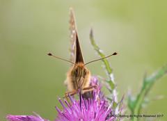 Dark Green Fritillary head on (snapp3r) Tags: butterfly charterhouse darkgreenfritillary