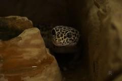 20170701X1824_Leopardgecko_0126 (RascheBilder) Tags: leopardgecko raschebilder