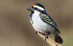Acacia Pied Barbet (6) (Richard Collier - Wildlife and Travel Photography) Tags: wildlife naturalhistory africawildlife birds birdsafricabirds namibia acaciapiedbarbet naturethroughthelens