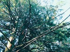Cthulhu tree (Inés Luque Aravena) Tags: tree albero árbol branch rama ramo botanico botanic valdivia chile sur natura nature naturaleza
