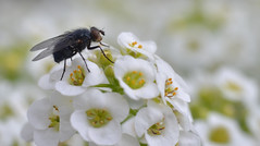 beauty and the beast (conall..) Tags: macro fly alyssum calliphora vicina calliphoravicina