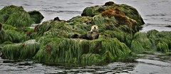 Throne Of Grass (Michael T. Morales) Tags: seaotter otter seagrass montereybay green nature ocean sea mar