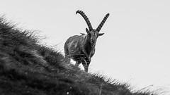 Lookout ibex (Ettore Trevisiol) Tags: ettore trevisiol nikon d7200 nikkor 18 70 d300 tokina 11 20 55 200 gran paradiso national park ibex snow grass sunset mountain