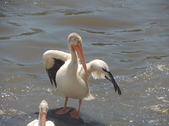 American White Pelican (Two Cats Productions) Tags: