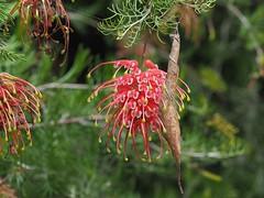 Grevillea and leaf-curling spider (Boobook48) Tags: olympusem5ii flower australia victoria garden zuiko macro leafcurlingspider grevillea flora