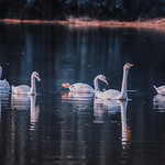 Swans in the lake thumbnail