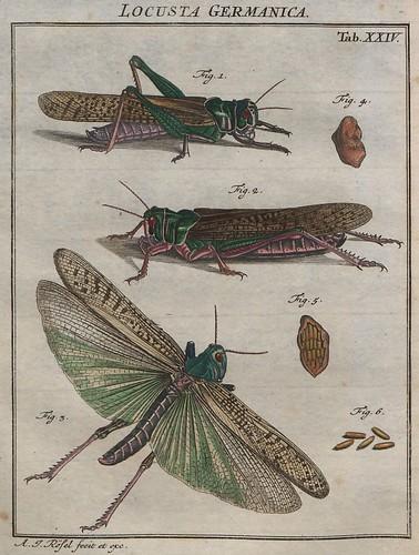 Locusta germanica V.2 b