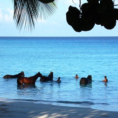 Barbados - horses (NigelDurrant) Tags: ocean morning sea sky horses horse tree set racetrack swim caballo cheval hotel bay coconut horizon palm handlers tropical barbados series caribbean washed bathing cavalo washing racehorse equus antilles westindies galope equidae carlislebay ferus caballus tropicalalmond grandbarbados goldstaraward grandbarbadoshotel  recolix