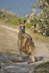 Moonee Beach Nature Reserve - Kangaroo (jr-teams.com - Photo) Tags: beach nature nikon reserve australia kangaroo wallaby inside gps australien tamron australie känguru 28300 moonee d700