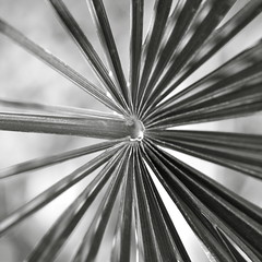 Palm branch (kevin dooley) Tags: arizona bw white plant black southwest tree composition canon square us backyard heaven branch peace desert symbol earth restful sigma az monotone victory palm frond explore palmtree rest universal chandler f28 circular radiating palmfrond victorious 105mm palmbranch 40d oldschooldigital aplusphoto