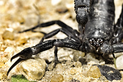 SCORPION (MOHAMMED AL-SALEH) Tags: macro insect photography wildlife insects scorpion scorpions micro kuwait mohammad macrophotography microphotography     insectphotography kuwaitwildlife alsaleh  mohammadalsaleh    insectsphotography  scorpionphotography