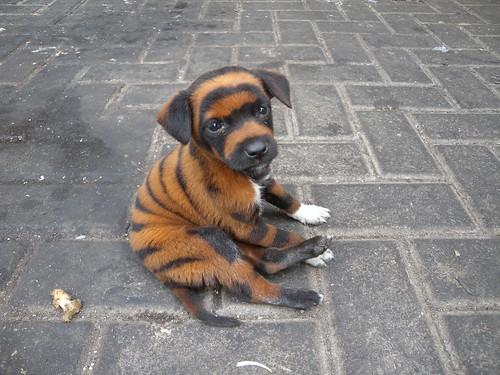 tiger, puppy
