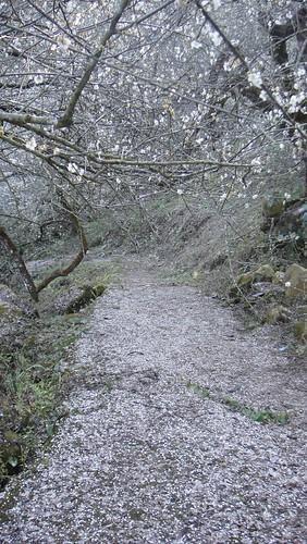 落花滿地的梅樹步道
