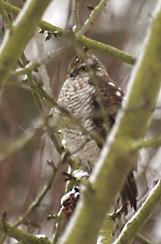 Accipiter nisus | Sperwer